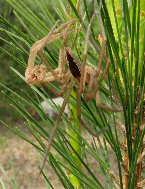 Nursery web spider, Pisaurina mira.