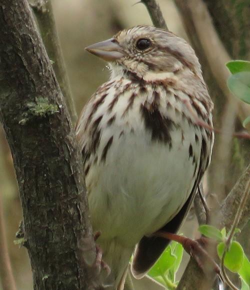 The mystery sparrow.