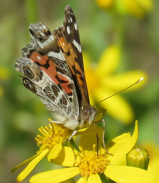 American Painted Lady, Vanessa virginiensis