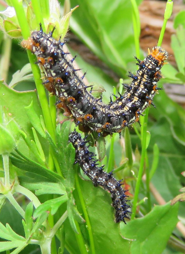 Two Common Buckeye larva.