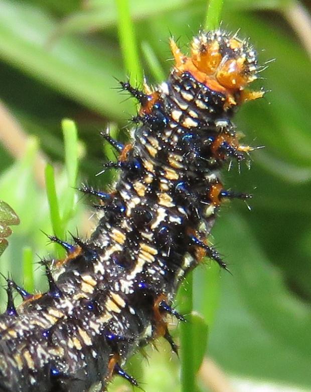 Close-up of the larger caterpillar.