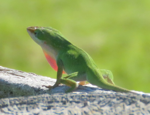 Anole. I saw 3 total.