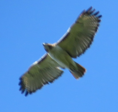 Red-tailed Hawk. The picture is blurry but at least it is good for ID purposes.