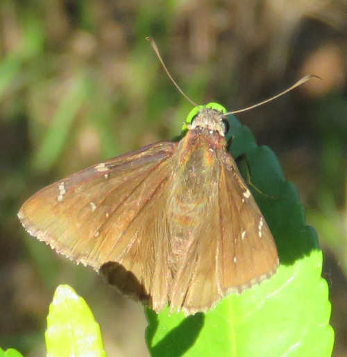 Cloudywing butterfly.