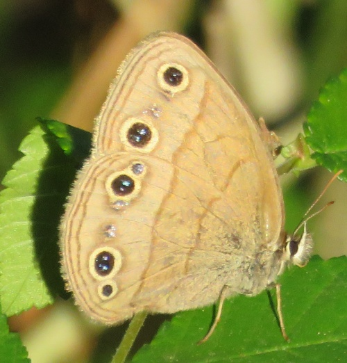 Little Wood Satyr butterfly. For the last two weeks, I have seen dozens flying around every time I go for a walk.