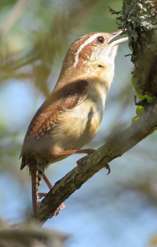 ...who perched, sang a few songs, flew on about 25 feet, and repeated the performance.