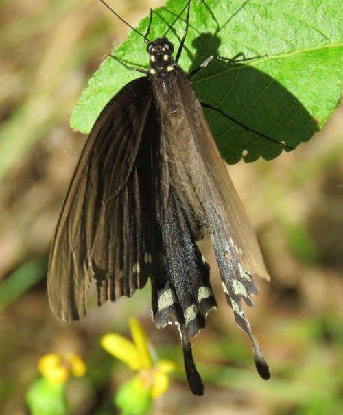 HOW do you expect to identify this dull-colored swallowtail butterfly?