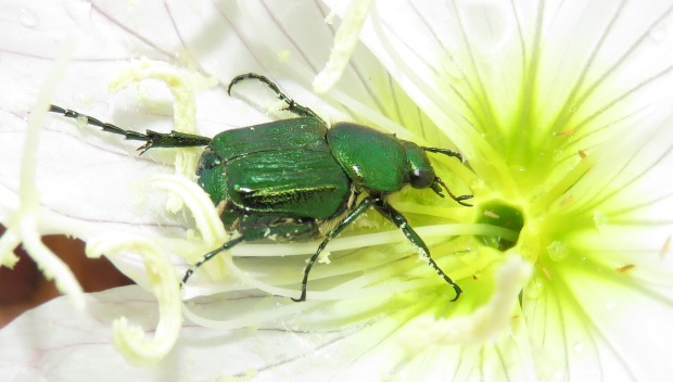 Pollen is sticking to the beetle's legs.