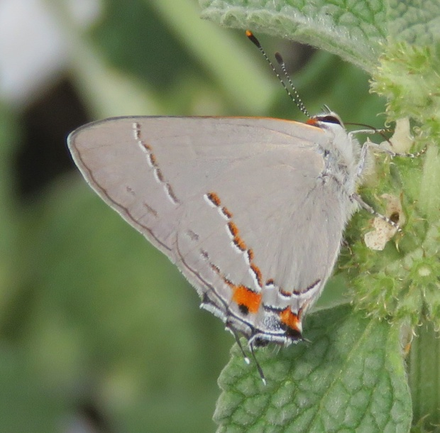 Gray Hairstreak on Horehound.