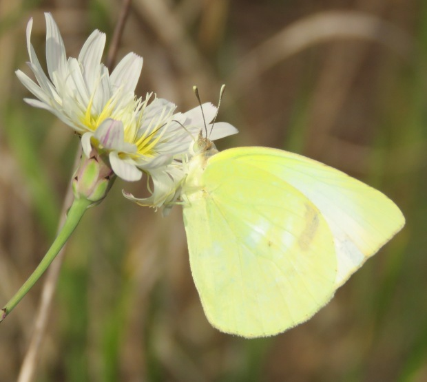 Sulphur butterfly, unknown species, on White Rock Lettuce flower.