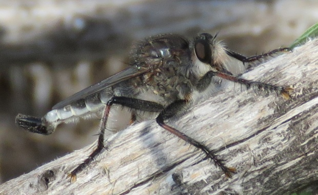 Robber Fly male, Efferia sp.