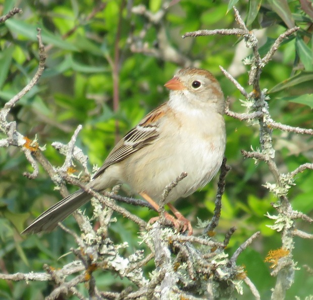 Field Sparrow, Spizella pusilla.