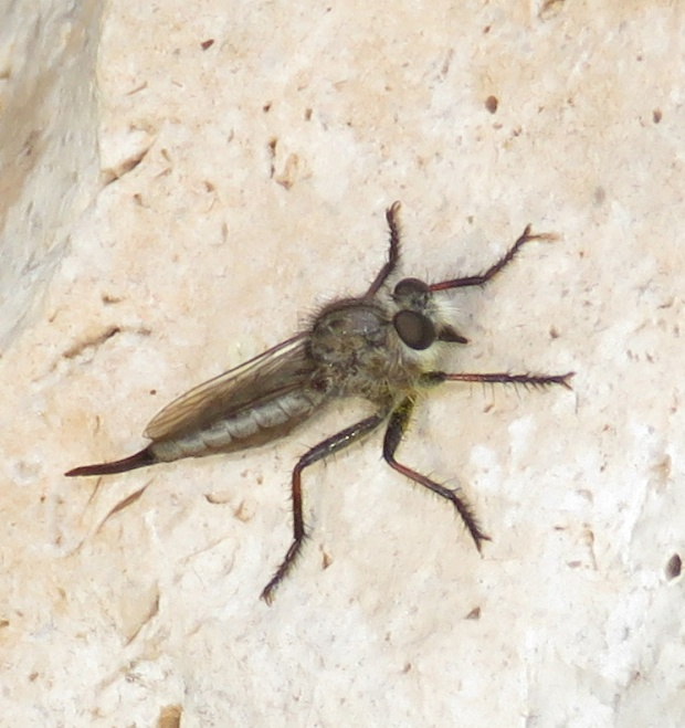 Robber Fly female, Efferia sp.