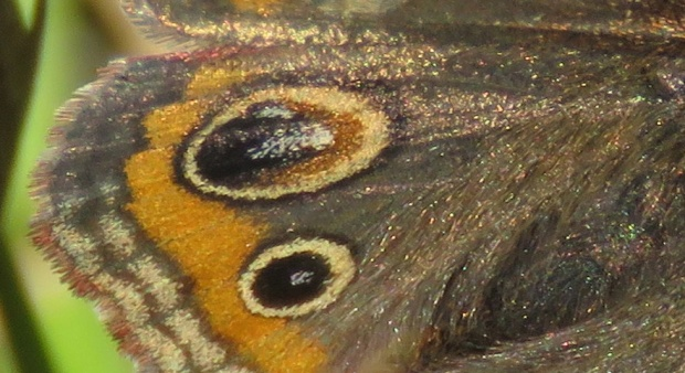 Close-up of the wing scales.