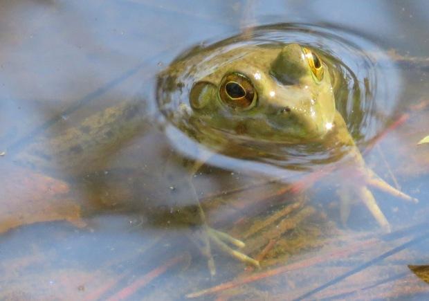 Slightly larger frog.