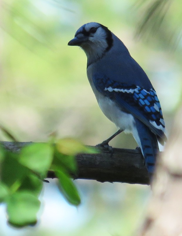 Stealthy Blue Jay.