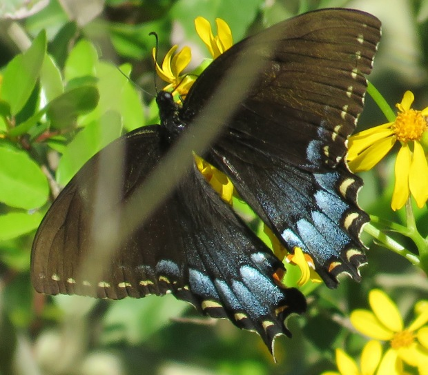 Eastern Tiger Swallowtail, female, black phase, Papilio glaucus