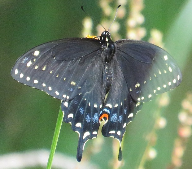 Black Swallowtail, Papilio polyxenes. This is the fifth swallowtail species we have had here.