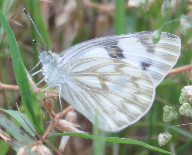 Checkered White, Pontia protodice.