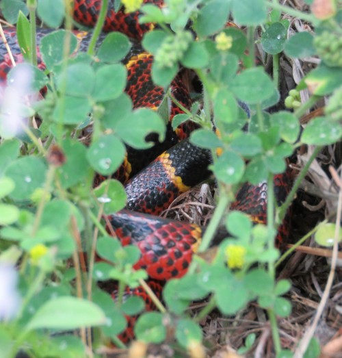 Coral Snake, Micrurus tener. The black blotches in the red show that this is a Texas Coral Snake.