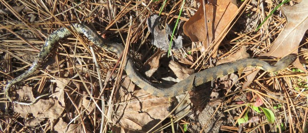 Young Diamond-backed Water Snake (Nerodia rhombifer rhombifer).