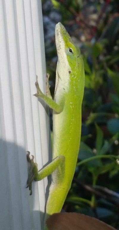 Ordinary, common anole.