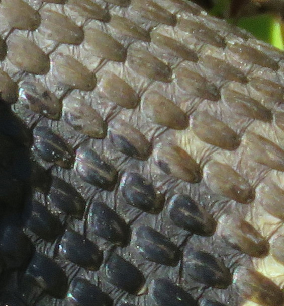 I like the pattern of the scales and puckered skin between them.