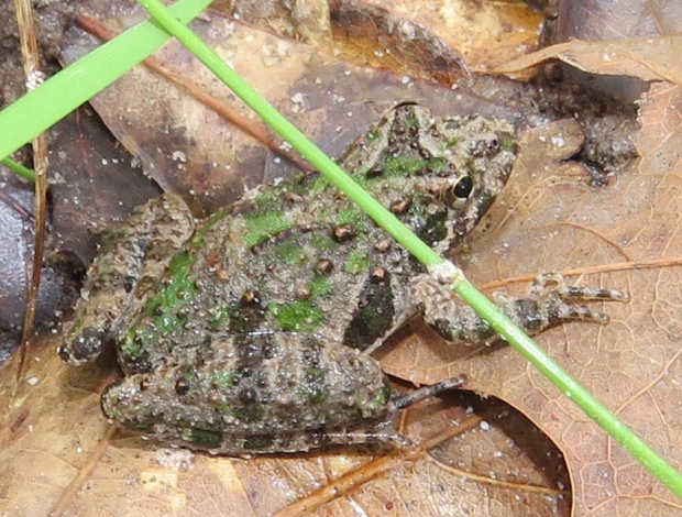 Northern Cricket frogs are about 1 inch (2.5 cm) long.