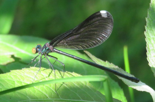 This is my first spotting of an Ebony Jewelwing damselfly here.