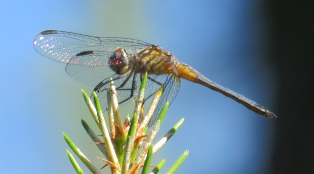 I am pretty sure this is a Blue Dasher.