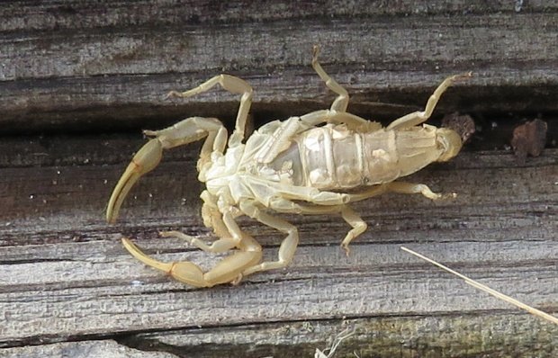 Molted exoskeleton of a scorpion.