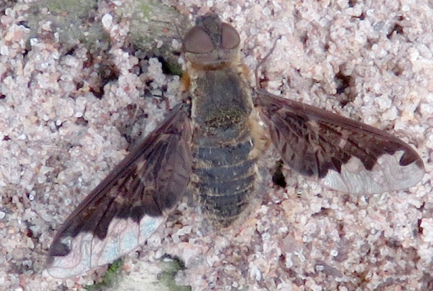 Sinuous Bee Fly.