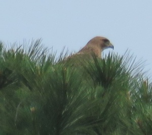 I am pretty sure this is the Red-tailed Hawk who has been hanging around. It's not a great picture, but I was lucky to see it land in the top of a pine. Is there a nest up there?