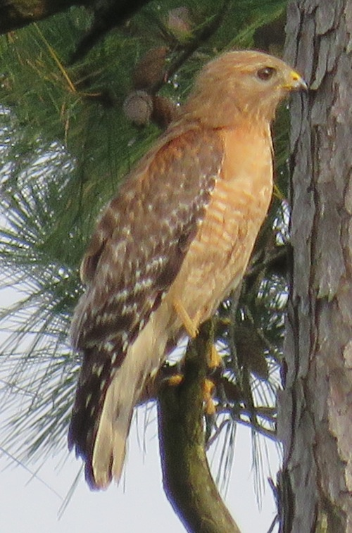 "Red-shouldered Hawk. This is our ""default"" hawk."