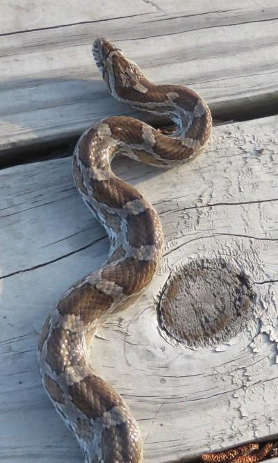 Snake species #12.