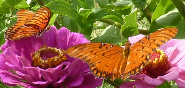 Gulf Fritillaries on zinnias.