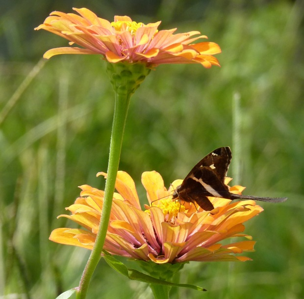 White-striped Longtail on zinnia.