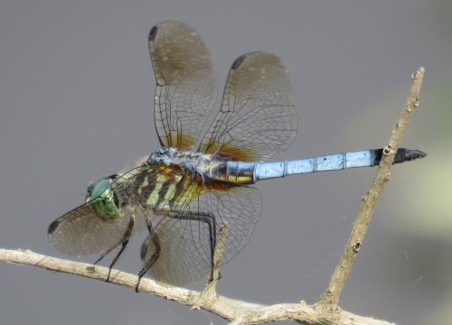 Blue Dasher, Pachydiplax longipennis.