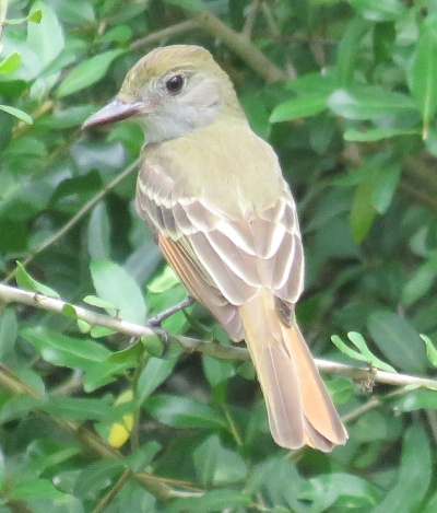 Young Great Crested Flycatcher.