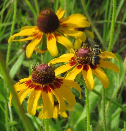 Rudbeckias, also called Brown-eyed Susans, Ox Eye Daisies, and Coneflowers.
