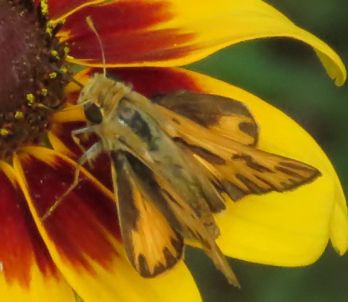 Fiery Skipper, dorsal view.