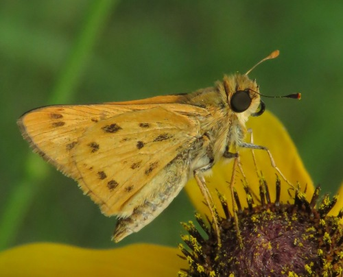 Fiery Skipper, Hylephila phyleus, ventral view.