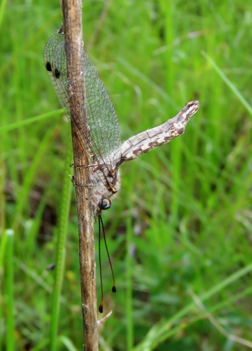 Owlfly, Ululodes sp.