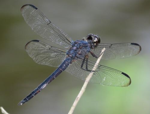 Slaty Skimmer, Libellula incesta.