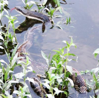 A sizable snake.
