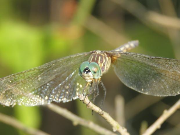 I took hundreds of shots this summer trying to capture dragonfly eyes properly.