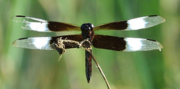 Widow Skimmer dragonfly, male.