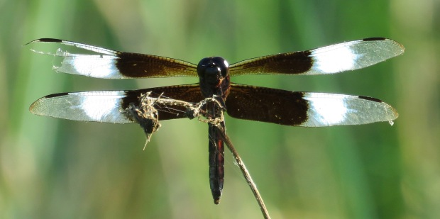 Widow Skimmer dragonfly, male.