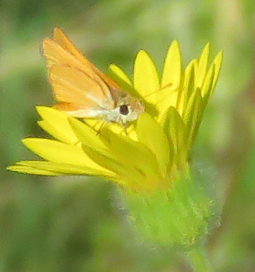 Skipper butterfly on Camphor Daisy.