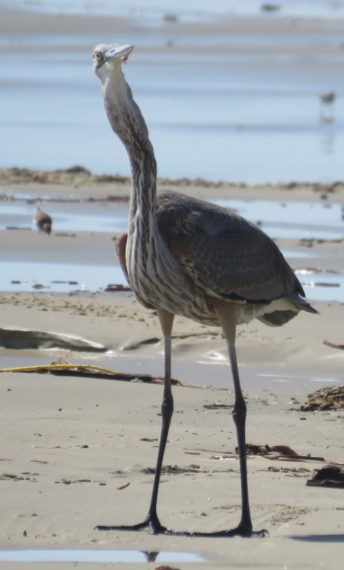 Great Blue Heron on beach.